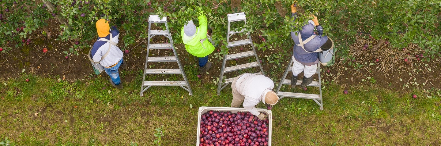 View from above of workers picking apples.